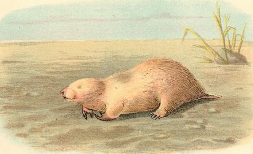 Marsupial Mole 1