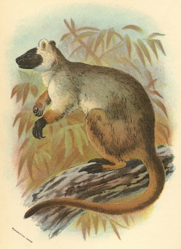 Queensland Tree-Kangaroo 1