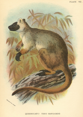 Queensland Tree-Kangaroo
