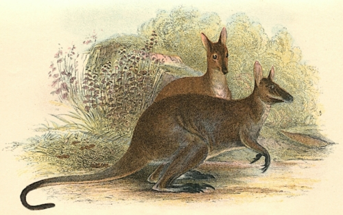 Red-Necked Wallaby (Tasmanian Variety) 1