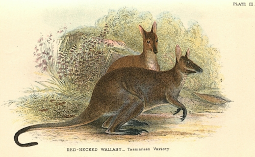 Red-Necked Wallaby (Tasmanian Variety)