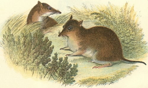 Short-Nosed Bandicoot 1