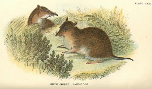 Short-Nosed Bandicoot
