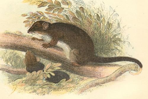 Tasmanian Ring-Tailed Phalanger 1