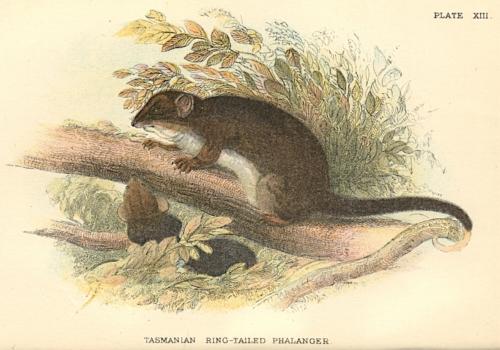 Tasmanian Ring-Tailed Phalanger