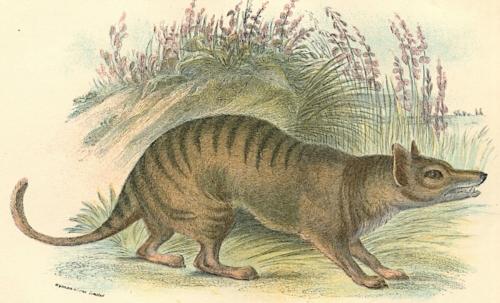 Tasmanian Thylacine 1
