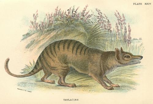 Tasmanian Thylacine