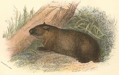 Tasmanian Wombat 1