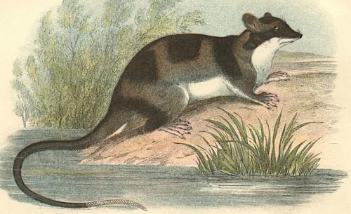 Water-Opossum 1