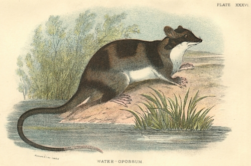 Water-Opossum