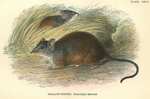 Yellow-Footed Pouched-Mouse