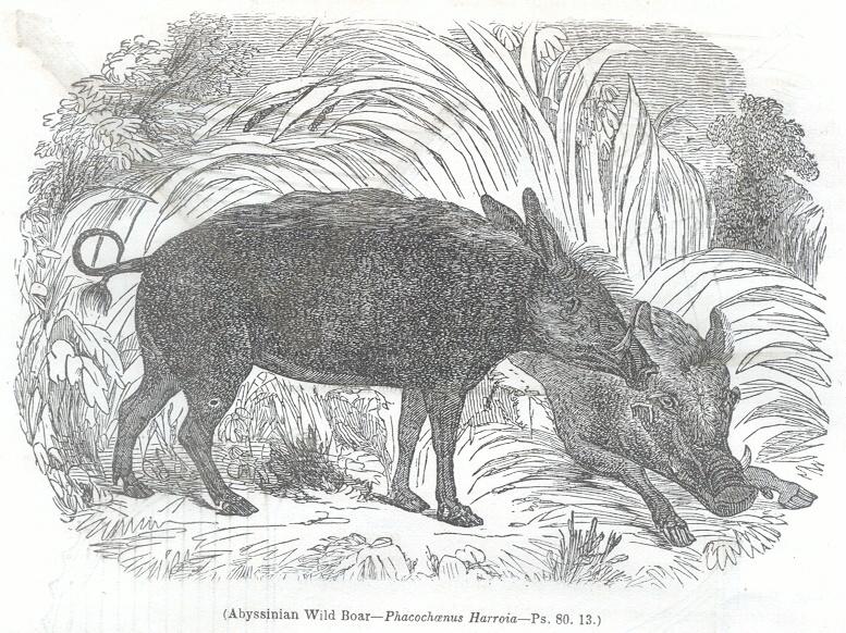 Abyssinian Wild Boar - Phacochanus Harroia