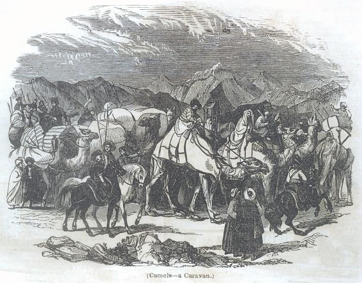 Camels - a Caravan