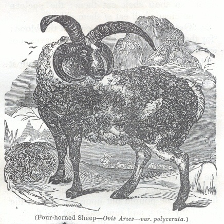 Four-horned Sheep - Ovis Aries