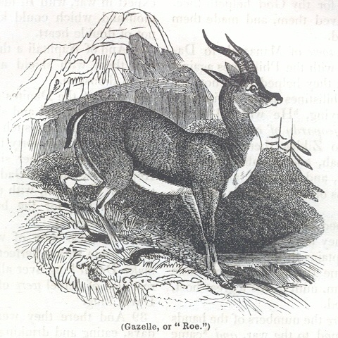 "Gazelle, or ""Roe"""