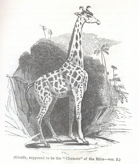 "Giraffe, supposed to be the ""Chamois"" of the Bible"