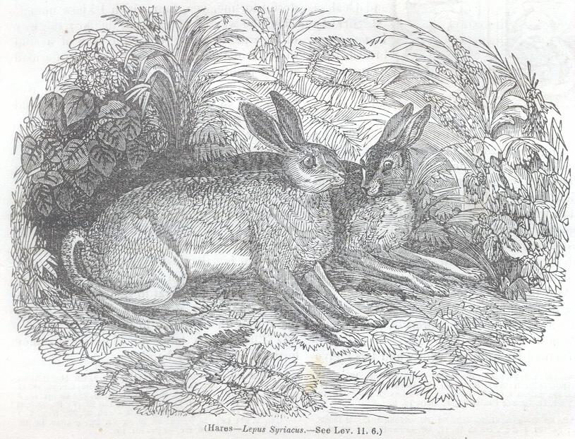 Hares - Lepus Syriacus
