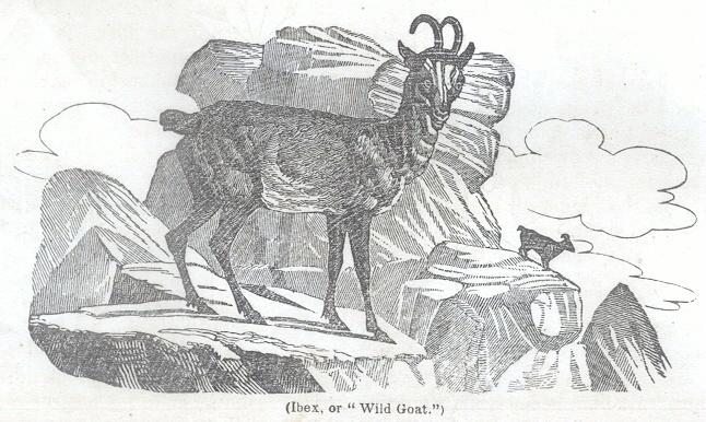 """Ibex, or """"Wild Goat"""""""