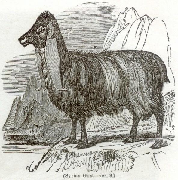 Syrian Goat