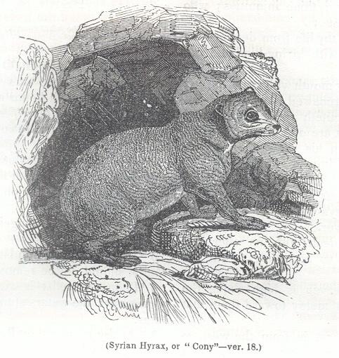 """Syrian Hyrax, or """"Cony"""""""