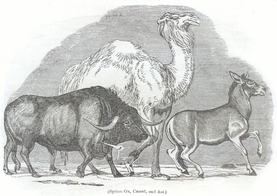 Syrian Ox, Camel, and Ass