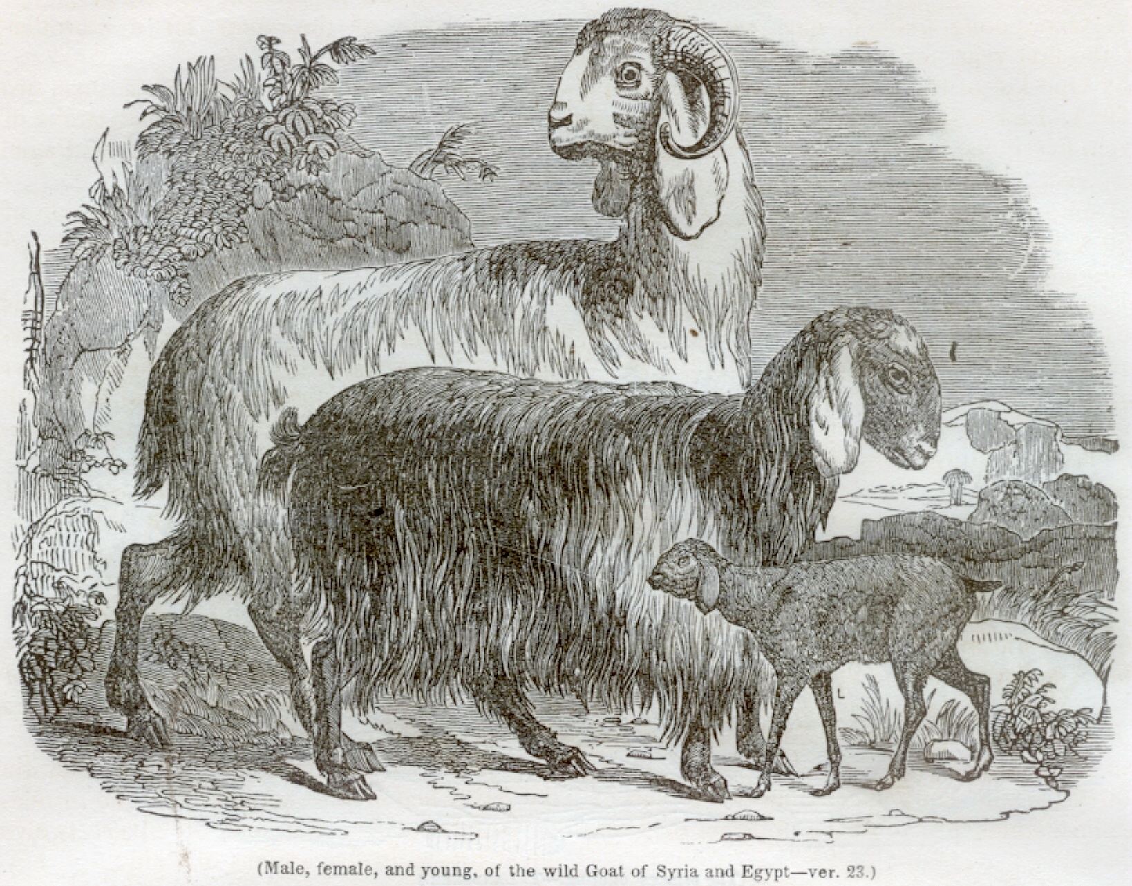 Male, female, and young, of the Wild Goat of Syria and Egypt