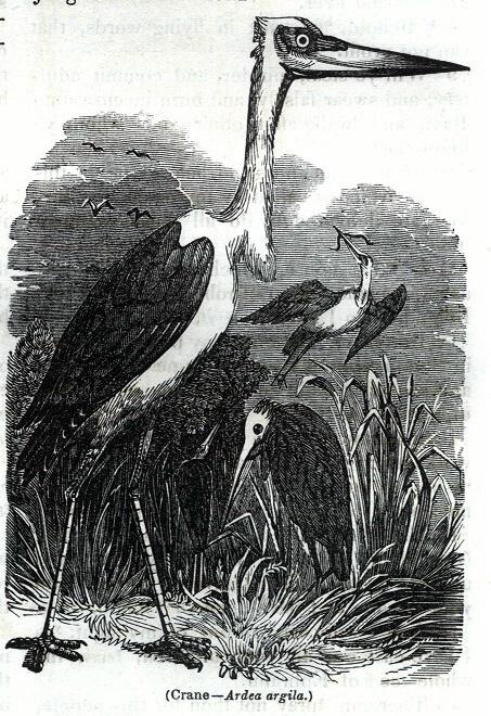 Crane - Ardea argila