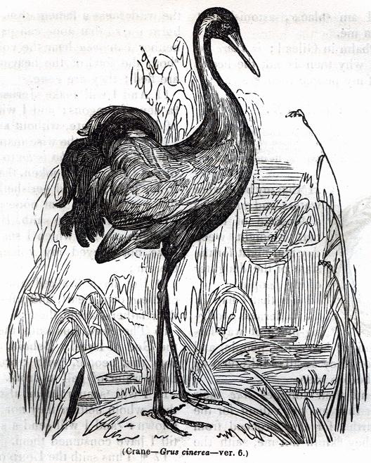 Crane - Grus cinerea
