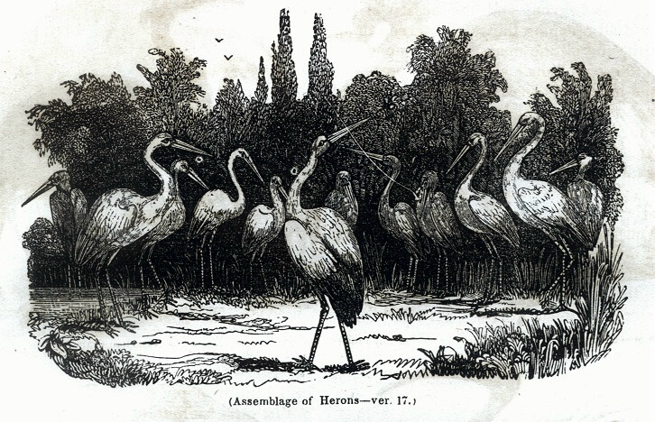 Assemblage of Herons
