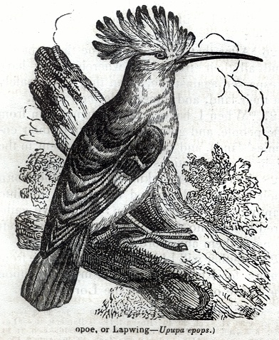 Hoopoe or Lapwing - Upupa epops