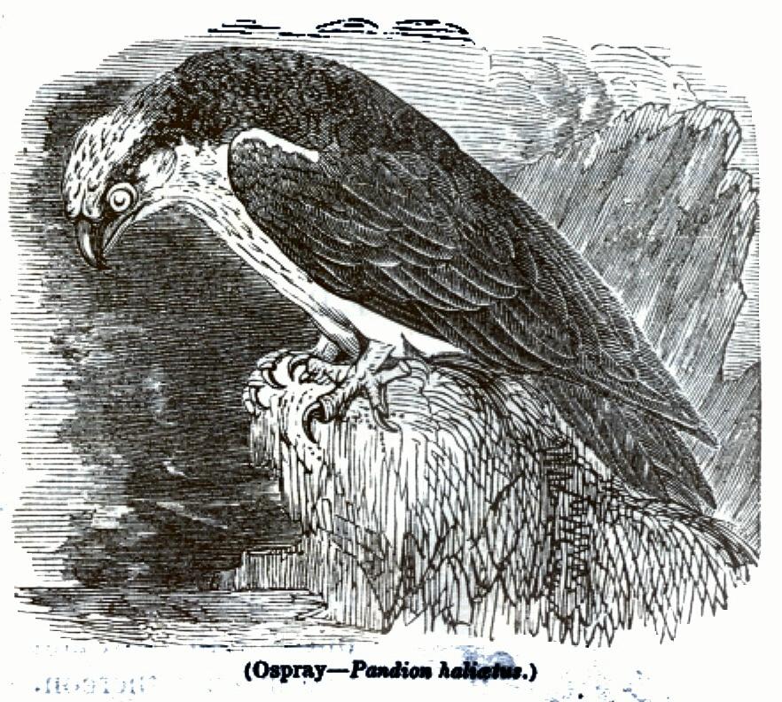 Ospray - Pandion haliaetus