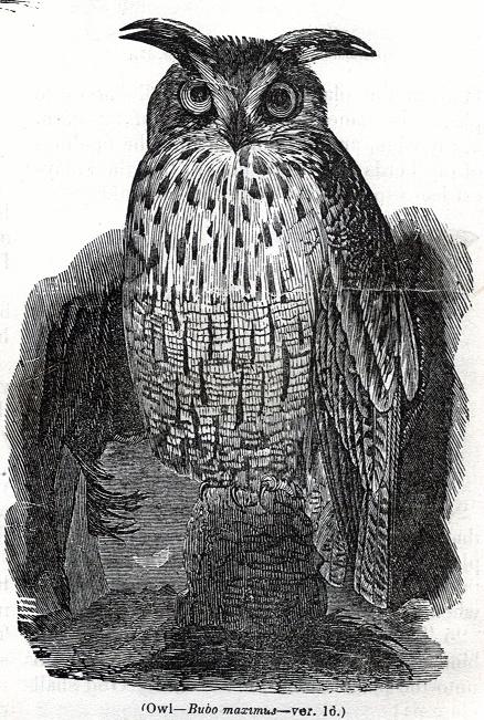 Owl - Bubo maximus