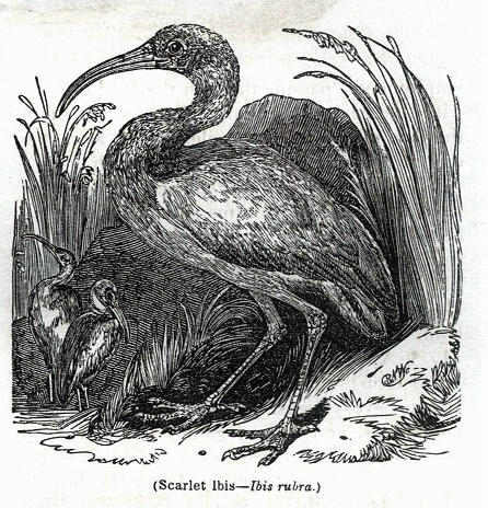 Scarlet Ibis - Ibis rubra