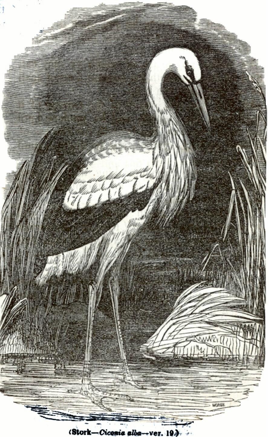 Stork - Ciconia alba
