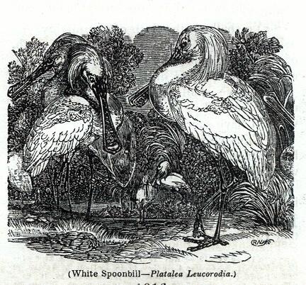 White Spoonbill - Platalea Leucorodia