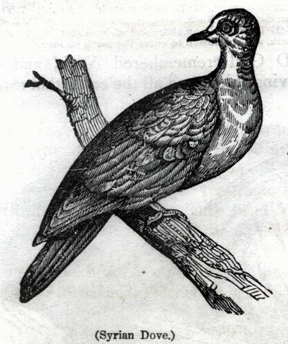 Syrian Dove