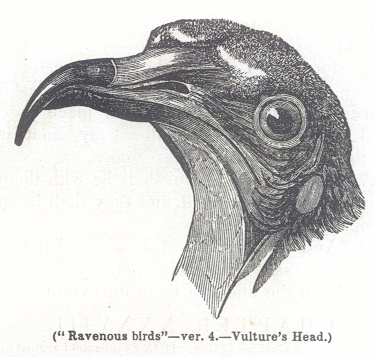 Vulture's Head