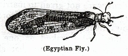 Egyptian Fly