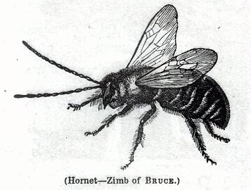 Hornet - Zimb of Bruce