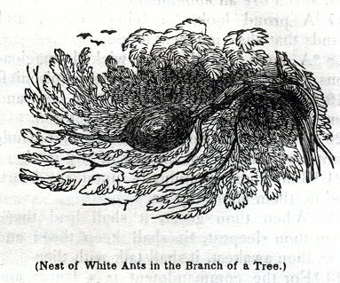 Nest of White Ants in the Branch of a Tree