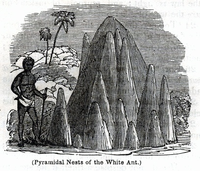 Pyramidal Nests of the White Ant