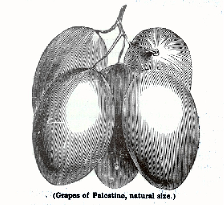 Grapes of Palestine