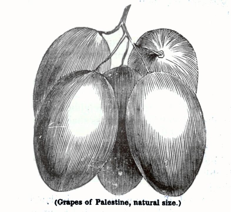 Grapes of Palestine