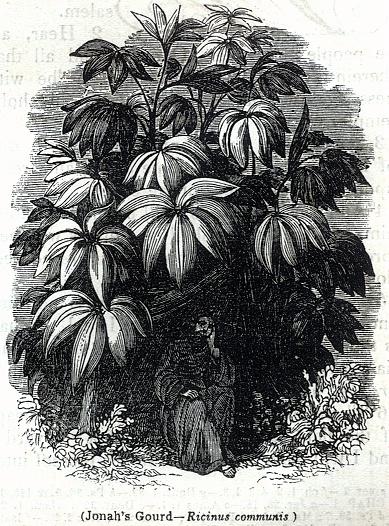 Jonah's Gourd - Ricinus communis