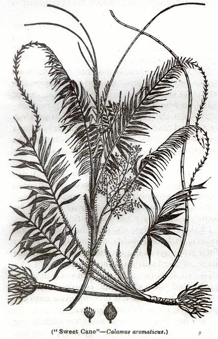 Sweet Cane - Calamus aromaticus