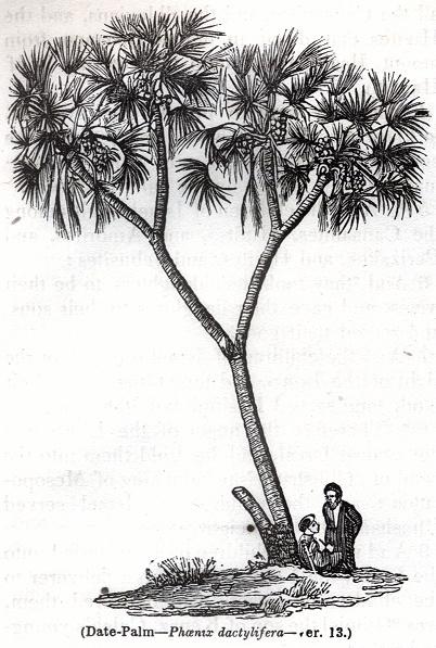 Date-Palm - Phoenix dactylifera