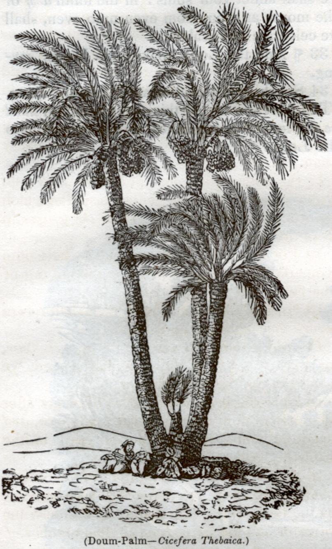 Doum Palm - Cicefera Thebaica
