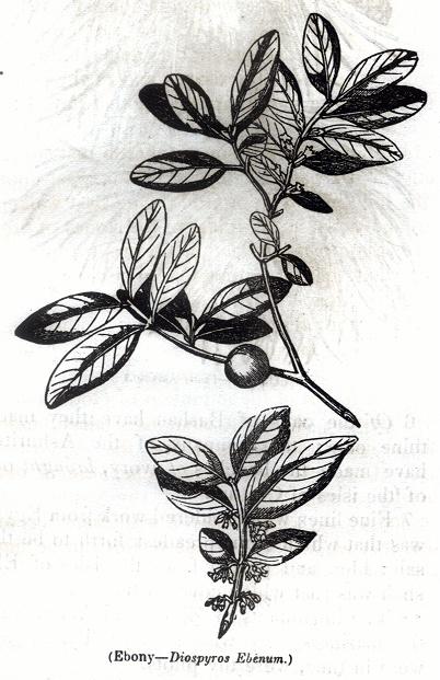 Ebony - Diospyros Ebenum