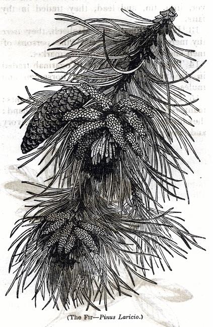Fir - Pinus Laricio
