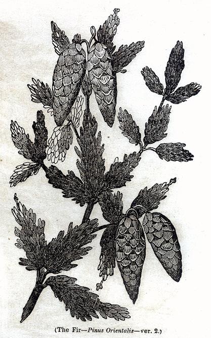 Fir - Pinus Orientalis